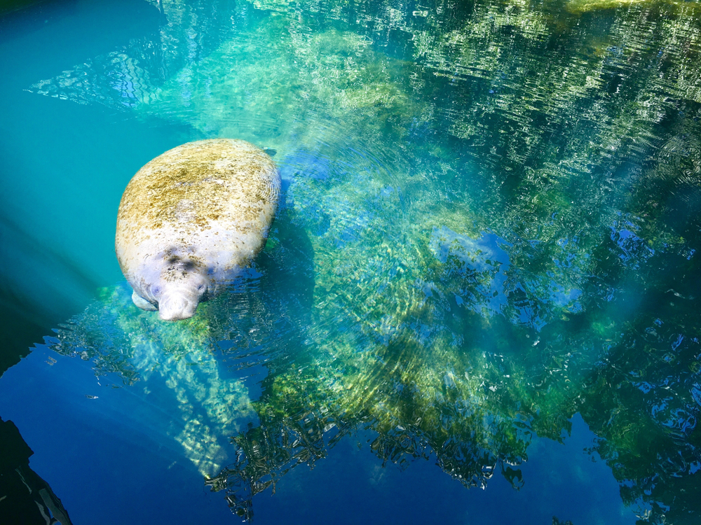 Best Places to See Manatees in Florida state