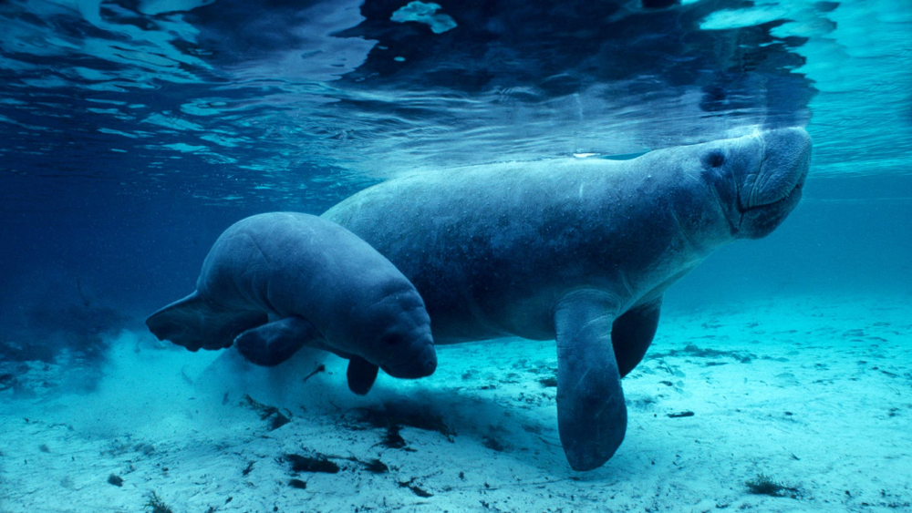 Best Places to See Manatees